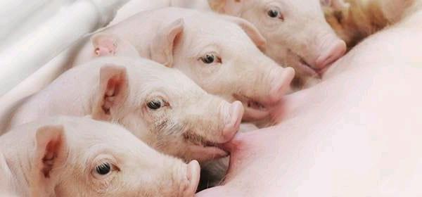法系伊比得种猪