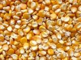 我公司常年收购饲用玉米