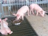 养猪场如何有效防控饲料霉变
