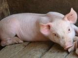猪缺少钙质也会出大问题