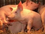 生猪养殖饲料配方要做好