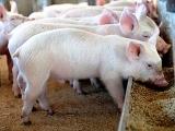 猪饲料生喂与熟喂