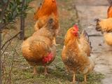 鸡所需的各种营养素的作用汇总