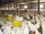 饲养肉鸡咋使用油脂饲料