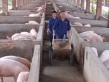 麸皮养猪的缺点你知道吗?
