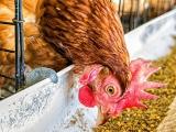 鸡12bet投注应加哪些添加剂