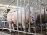 德赢app下载安装华宝种猪宣传片