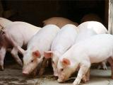 7月1日,影响养猪业的这两大政策正式生效