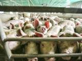 生猪养殖过度保险容易导致产能过度扩张 要避免过度补贴导致新的生产失衡