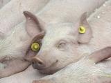 分析21世纪以来中国猪业的五次变革!