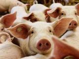 专家:非洲猪瘟非人畜共患病 正规渠道猪肉可放心食用
