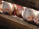 非洲猪瘟、牛羊炭疽、猪链球菌...疫情接连爆发,之间有关联么?