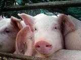 粮农组织:可能是猪肉产品运输致病毒传播至中国,而不是生猪