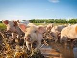 猪瘟病毒来源:疫区进口冻猪肉可能性极大