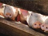 猪瘟跨省连续爆发,主动防控才是王道