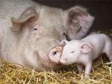 生猪产能大变局:北方省份几乎全被禁运!国家统计局如是说