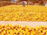 最新玉米开秤价来了!又涨了?