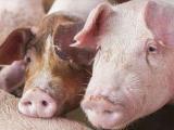 农业农村部:国庆猪价大概率上涨 但非洲猪瘟导致节后短期快速下跌