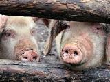 山东防控非洲猪瘟 暂时叫停生猪交易