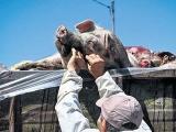 科学认识非洲猪瘟:正规渠道购买多重措施可杀灭病毒