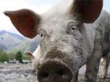 六起非洲猪瘟防控违法违纪典型案例被通报