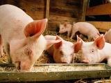 养猪业的转型只能是商机而不是灾难