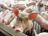 10省市公布前三季度生猪出栏量/猪肉产量 同比多增长