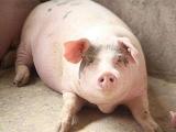 12月将进入生猪需求旺季生猪价格将如何?