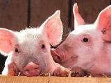农业农村部最新发布:非洲猪瘟疫情防控八条禁令!