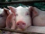 20省份发生非洲猪瘟了!为啥疫情不断?到底能根除吗?农业农村部回应了