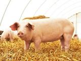 2019年猪价将反转?中小猪场发展要重视这个问题