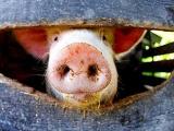 农业农村部:短时间内彻底灭除非洲猪瘟难度极大,打持久战在所难免