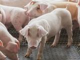 荷兰沙门氏菌猪肉已致多人感染