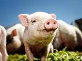 快看!非洲猪瘟6大政策转向