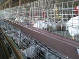 笼养肉鸡的饲养管理技术分析