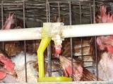 冬季饲养蛋鸡的供水技巧