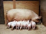 调教猪群定点吃喝拉撒,做好这三点就够了!