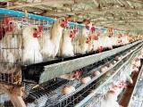 肉种鸡笼养管理的几点要求