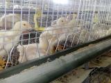 笼养白羽肉鸡育雏期饲养