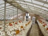 大棚肉鸡养殖注意事项