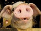 给养猪新手的八点建议