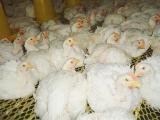 肉鸡养殖管理最容易疏漏的环节