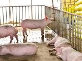 冬季养猪怎样防止猪尿窝