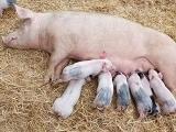 母猪难产后的助产措施
