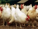 每个月养鸡工作重点不一样