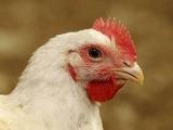 肉鸡养殖巧用砂砾