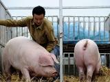 重磅!农业农村部生猪及生猪产品调运最新规定