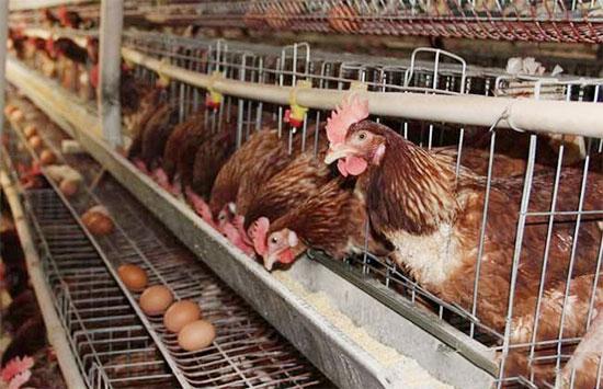 蛋鸡养殖12bet投注不容忽视