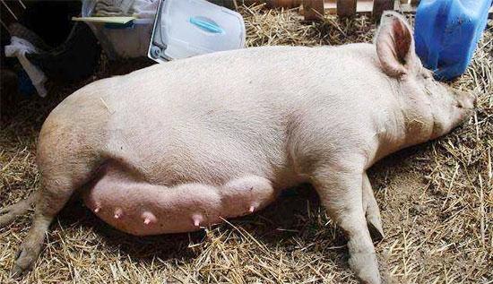 母猪乳房炎的诊断及防治