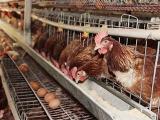 蛋鸡养殖德赢vwin手机官网不容忽视